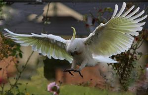 Sulphur Crested Cockatoo 32 by chezem