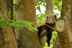 Red Panda Lounging by GogglesOfEscape