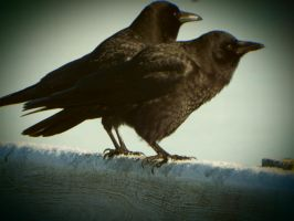 motherfucking crows by H-jort-Photo