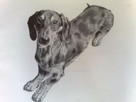Archie the Dachshund by laura-20