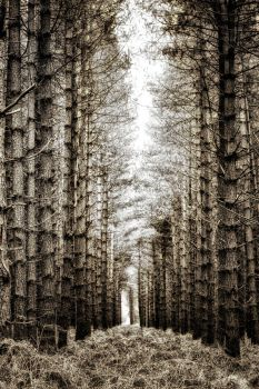 Pine Forest 2 by Coigach