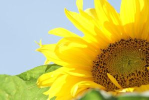 sunflower by Lianne-Issa