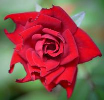 Tiny rose today 6-24-12 by Tailgun2009