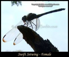 Swift Setwing - Female 3 by GD-litenin