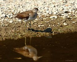 Solitary Sandpiper I by natureguy