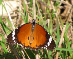 Another dorsal view of the Plain Tiger by Faunamelitensis