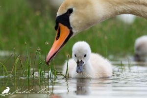 Young Mute swan (Cygnus olor) by PhotoDragonBird