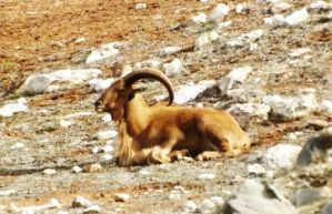 Barbary Sheep. by phasai