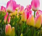 Pink Tulips II by Photos-By-Michelle