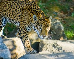jaguar43 by redbeard31