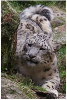 Snow Leopard waiting by W0LLE