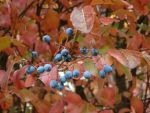 Blue Berries, Red Leaves by Zenoc2