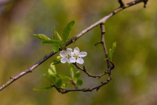 Last of the Spring Blossom by D-Maxey