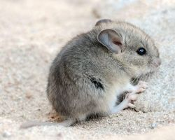 Baby Kangaroo Mouse by ilovelost456