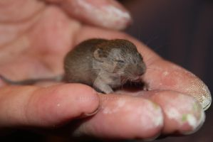 Itty Bitty Mouse 2 by Elvaneyl