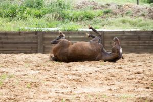 Km Old TB laying rolling on back 11 by Chunga-Stock
