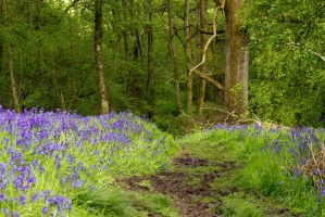 Bluebell Walk by parallel-pam