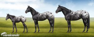 Appaloosa Horse. Stages of growth by Chistokrovka