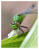 Dragonfly Eating a White Moth by Eccoton