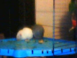 Crappy webcam new rats by Daisylasy3