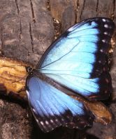 Blue Morpho by ian-atkinson