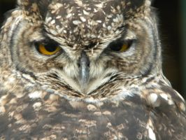 Spotted Eagle Owl by kailor