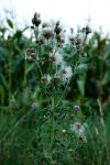 Thistle by GreasySpoon