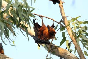 Fruit Bat 2 Goa India by RixResources