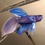 Betta splendens by wickedglass