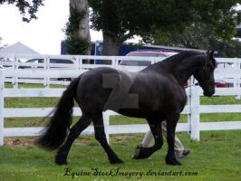 Friesian 16 by EquineStockImagery