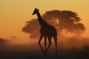 Giraffe Silhouette - Triangles in Nature by LivingWild
