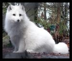 Arctic Fox by AmericanNomad