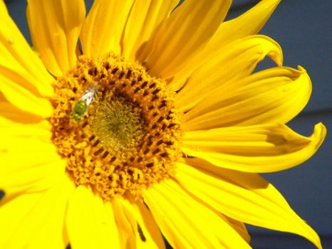 Sunflower by Prussia-Hungary