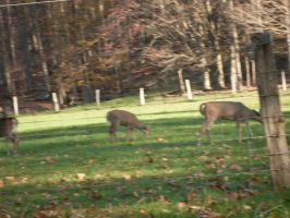 Whitetails for days 4 by Beatlesfan1994