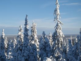 Trees in Lapland, Finland by Jennysuomea