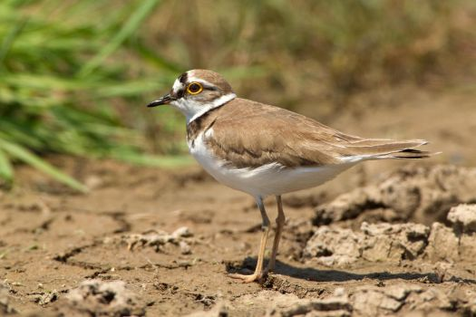 Do you like my eye-liner? - Little ringed plover by Jamie-MacArthur