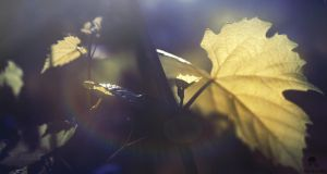 Morning light, two leaves and a bud by DianaGrigore