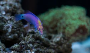 Mystery Wrasse by gmwebs