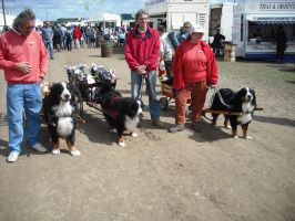 Bernese Mountain Dog Carting by snailsrawk