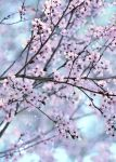 Pastell Cherry Blossom by AStoKo
