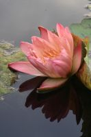 Water lily No. 4a by Amaries-stock