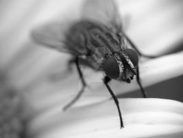 Fly 1 Black and White by zaphotonista