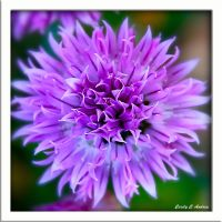 Chive Flower by CecilyAndreuArtwork
