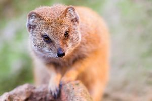 Red Meerkat by darkSoul4Life
