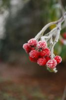 The Winter Berries by White-Fusion