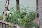 Yan Guang - Male Giant Panda by tammyins