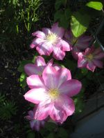 Clematis 4 by groundhog22