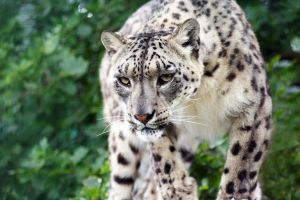 Snow Leopard 2 by rosswillett