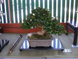 More Stereotypical Bonsai by TigrisFirecatcher