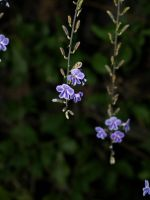 Hanging Purple Flowers by CatherineAllison